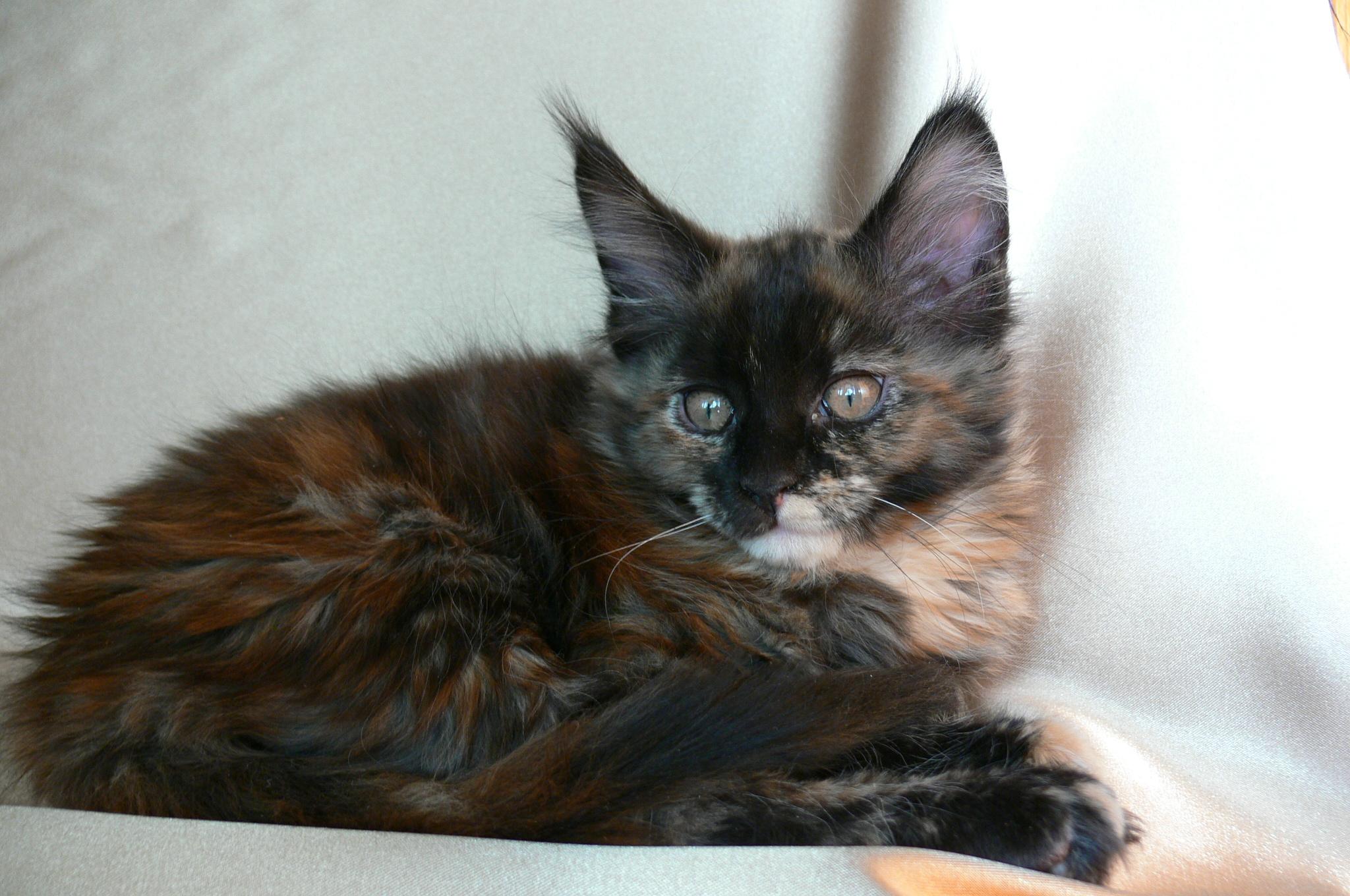купить котенка москве с фото
